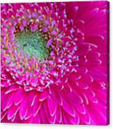 Hot Pink Gerbera Daisy Canvas Print