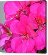 Hot Pink In February Canvas Print
