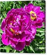 Hot Pink Peonies Canvas Print