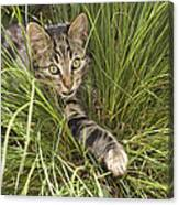 House Cat Hunting In Grass Germany Canvas Print