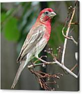 House Finch At Rest Canvas Print