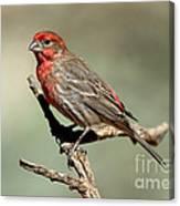 House Finch Carpodacus Mexicanus Canvas Print