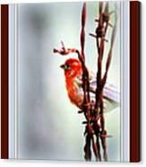 House Finch - Finch 2241-004 Canvas Print