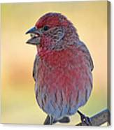 House Finch II Canvas Print