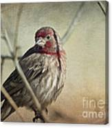 House Finch Two Canvas Print