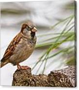 House Sparrow Passer Domesticus On The Perch Canvas Print