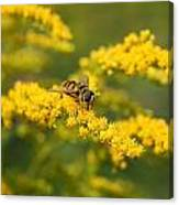 Hoverfly Feeding Canvas Print