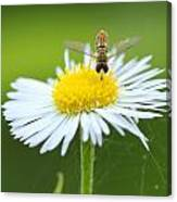 Hoverfly On Flower Canvas Print