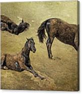 How A Black Horse Turns Brown - Pryor Mustangs Canvas Print