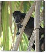 Howler Monkey Looking Down Canvas Print