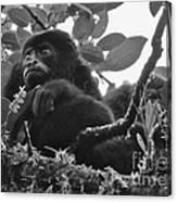 Howler Monkey's Canvas Print