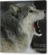 Howling Gray Wolf  Canvas Print
