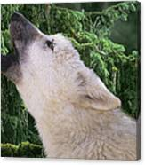 Howlling Arctic Wolf Pup Endangered Species Wildlife Rescue Canvas Print