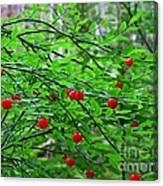 Huckleberry Bush Canvas Print