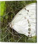 Huge White Morpho Butterfly Canvas Print
