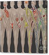 Human Systems In The Female Anatomy Canvas Print
