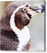 Humboldt Penguin Portrait Canvas Print