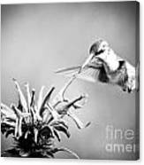 Hummingbird Black And White Canvas Print