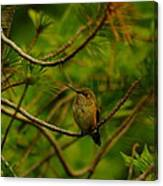 Humming Birds Perched  Canvas Print