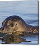 Humming Harbor Seal Canvas Print