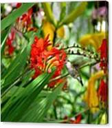 Hummingbird Among The Lucifer Canvas Print