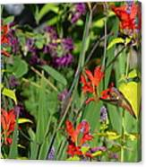 Hummingbird And Crocosmia Lucifer Canvas Print