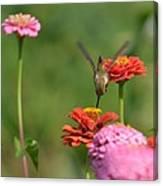 Hummingbird And Zinnias Canvas Print