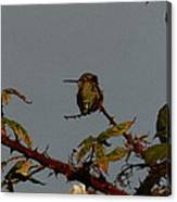 Hummingbird Atop Blackberry Bushes Canvas Print