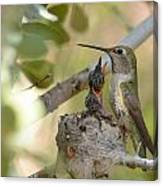 Hummingbird Babies Canvas Print