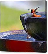 Hummingbird Bath Canvas Print