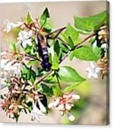 Hummingbird Clearwing Moth Canvas Print