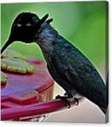 Hummingbird Costa's At The Feeder Canvas Print