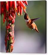 Hummingbird Feast  Canvas Print
