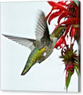 Hummingbird Focused On The Scarlet Bee Balm Canvas Print