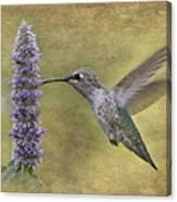 Hummingbird In The Mint Canvas Print