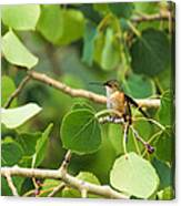 Hummingbird In Tree Canvas Print