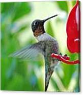 Hummingbird Male Ruby Throated  Canvas Print