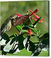 Hummingbird Morning Canvas Print