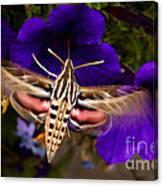 Hummingbird Moth   #8612 Canvas Print