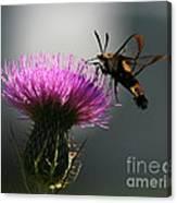 Hummingbird Moth II Canvas Print