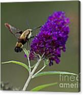 Hummingbird Moth Iv Canvas Print