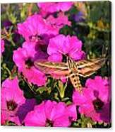 Hummingbird Moth Canvas Print
