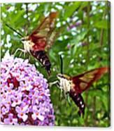Hummingbird Moths Canvas Print