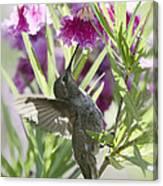 Hummingbird On A Desert Willow Canvas Print