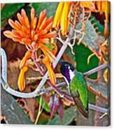 Hummingbird On Aloe In Living Desert In Palm Desert-california Canvas Print
