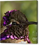 Hummingbird Portrait Canvas Print