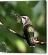 Hummingbird - Ruby-throated Hummingbird - Detail Canvas Print