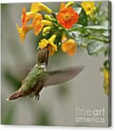 Hummingbird Sips Nectar Canvas Print