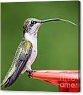 Hummingbird Sticky Her Tongue Out Canvas Print