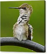 Hummingbird Stretching  Canvas Print
